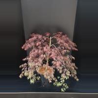 "Plantenwinkel.nl Japanse esdoorn (Acer palmatum ""Inaba Shidare"") heester - 60-80 cm - 1 stuks"