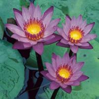 Moeringswaterplanten Tropische blauwe waterlelie (Nymphaea King of the Blues) waterlelie - 2 stuks