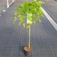 """Plantenwinkel.nl Japanse esdoorn (Acer palmatum """"Ryusen"""") heester - op stam 90 cm - 1 stuks"""