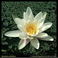 Moeringswaterplanten Witte waterlelie (Nymphaea albatros) waterlelie - 6 stuks