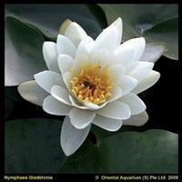 Moeringswaterplanten Witte waterlelie (Nymphaea Gladstoniana) waterlelie - 6 stuks