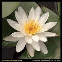Moeringswaterplanten Witte waterlelie (Nymphaea Marliacea Albida) waterlelie - 6 stuks