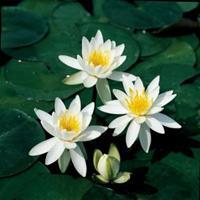 Moeringswaterplanten Witte waterlelie (Nymphaea odorata alba) waterlelie - 6 stuks