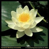 """Moeringswaterplanten Gele waterlelie (Nymphaea """"Marliacea Chromatella"""") waterlelie - 6 stuks"""