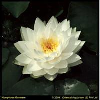 Moeringswaterplanten Witte waterlelie (Nymphaea Gonnere) waterlelie - 6 stuks