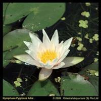 Moeringswaterplanten Witte dwergwaterlelie (Nymphaea pygmea alba) waterlelie - 6 stuks