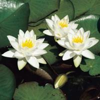 Moeringswaterplanten Witte dwergwaterlelie (Nymphaea Tetragona) waterlelie - 6 stuks