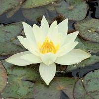 Moeringswaterplanten Gele dwergwaterlelie (Nymphaea pygmaea Helvola) waterlelie - 6 stuks