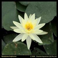 Moeringswaterplanten Gele waterlelie (Nymphaea Sulphurea) waterlelie - 6 stuks