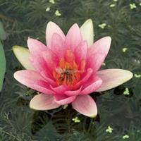 Moeringswaterplanten Roze waterlelie (Nymphaea Laydekeri Lilacea) waterlelie - 6 stuks