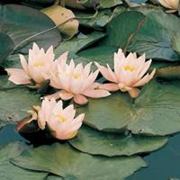 Moeringswaterplanten Roze waterlelie (Nymphaea Marliacea Carnea) waterlelie - 6 stuks
