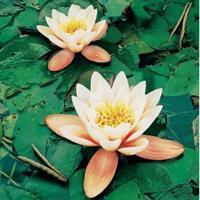 Moeringswaterplanten Oranje waterlelie (Nymphaea Aurora) waterlelie - 6 stuks