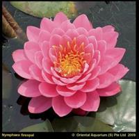 Moeringswaterplanten Roze waterlelie (Nymphaea fire opal) waterlelie - 6 stuks
