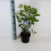 "Plantenwinkel.nl Hydrangea Paniculata ""Tardiva"" pluimhortensia - 25-30 cm - 1 stuks"