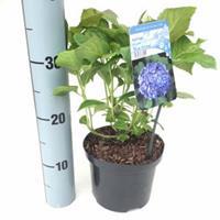"""Plantenwinkel.nl Hydrangea Macrophylla """"Blue Arrow"""" boerenhortensia"""