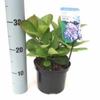 "Plantenwinkel.nl Hydrangea Macrophylla ""Bodensee"" boerenhortensia"