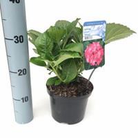 """Plantenwinkel.nl Hydrangea Macrophylla """"Masja"""" boerenhortensia"""