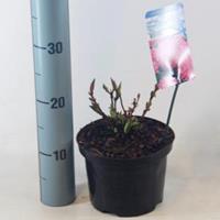 """Plantenwinkel.nl Hydrangea Macrophylla """"Pia"""" boerenhortensia"""