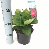 """Plantenwinkel.nl Hydrangea Macrophylla """"Rotkehlchen"""" schermhortensia"""