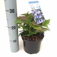 """Plantenwinkel.nl Hydrangea Serrata """"Blue Bird"""" berghortensia"""