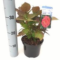 """Plantenwinkel.nl Hydrangea Serrata """"Preziosa"""" berghortensia"""