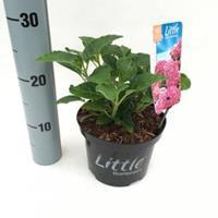 """Plantenwinkel.nl Hydrangea Macrophylla """"XS Little Pink"""" boerenhortensia"""