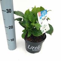 """Plantenwinkel.nl Hydrangea Macrophylla """"XS Little White"""" boerenhortensia"""