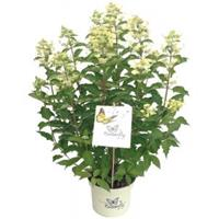 "Plantenwinkel.nl Hydrangea Paniculata ""Butterfly""® pluimhortensia - 30-40 cm - 1 stuks"