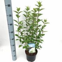 "Plantenwinkel.nl Hydrangea Paniculata ""Limelight""® pluimhortensia - 25-30 cm - 1 stuks"