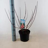 "Plantenwinkel.nl Hydrangea Paniculata ""Mega Mindy""® pluimhortensia - 40-50 cm - 1 stuks"