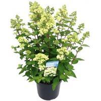 "Plantenwinkel.nl Hydrangea Paniculata ""Bombshell""® pluimhortensia - 15-20 cm - 1 stuks"