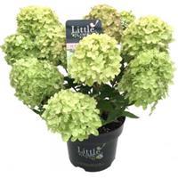 "Plantenwinkel.nl Hydrangea Paniculata ""Little Lime""® pluimhortensia - 20-25 cm - 1 stuks"