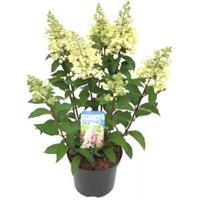 "Plantenwinkel.nl Hydrangea Paniculata ""Pinky Winky""® pluimhortensia - 25-30 cm - 1 stuks"