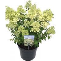 "Plantenwinkel.nl Hydrangea Paniculata ""Bobo""® pluimhortensia - 30-35 cm - 1 stuks"