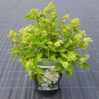 "Plantenwinkel.nl Hydrangea Paniculata ""Prim White""® pluimhortensia"