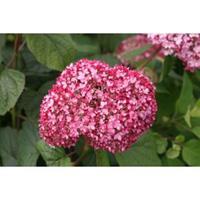 "Plantenwinkel.nl Hydrangea Arborescens ""Pink Annabelle""® sneeuwbalhortensia"