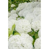"Plantenwinkel.nl Hydrangea Arborescens ""Strong Annabelle""® sneeuwbalhortensia"