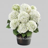 "Plantenwinkel.nl Hydrangea macrophylla ""White""® boerenhortensia"