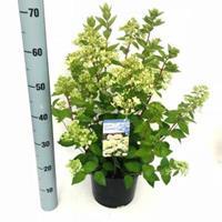 "Plantenwinkel.nl Hydrangea Paniculata ""Bombshell""® pluimhortensia - 30-35 cm - 1 stuks"