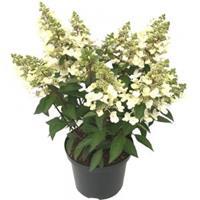 "Plantenwinkel.nl Hydrangea Paniculata ""Magical Vesuvio""® pluimhortensia"