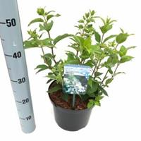 "Plantenwinkel.nl Hydrangea Paniculata ""Brussels Lace"" pluimhortensia - 40-45 cm - 1 stuks"