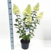 "Plantenwinkel.nl Hydrangea Paniculata ""Silver Dollar"" pluimhortensia - 80-90 cm - 1 stuks"