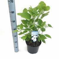 "Plantenwinkel.nl Hydrangea Arborescens ""Annabelle"" sneeuwbalhortensia - 40-50 cm - 1 stuks"