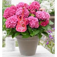 """Plantenwinkel.nl Hydrangea Macrophylla Music Collection """"Pink Pop""""® boerenhortensia - 25-30 cm - 1 stuks"""