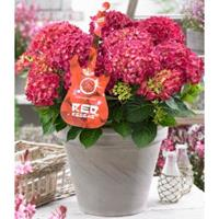 "Plantenwinkel.nl Hydrangea Macrophylla Music Collection ""Red Reggae""® boerenhortensia - 25-30 cm - 1 stuks"