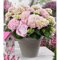 "Plantenwinkel.nl Hydrangea Macrophylla Music Collection ""Soft Pink Salsa""® boerenhortensia - 25-30 cm - 1 stuks"