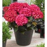 "Plantenwinkel.nl Hydrangea Macrophylla ""Black Diamond® Red Angel""® boerenhortensia - 25-30 cm - 1 stuks"