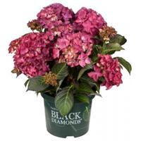 "Plantenwinkel.nl Hydrangea Macrophylla ""Black Diamond® Red Angel Purple""® boerenhortensia - 25-30 cm - 1 stuks"