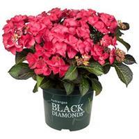 "Plantenwinkel.nl Hydrangea Macrophylla ""Black Diamond® Dark Angel""® schermhortensia - 25-30 cm - 1 stuks"