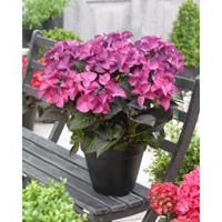 "Hydrangea Macrophylla ""Black Diamond® Dark Angel Purple""® schermhortensia - 25-30 cm - 1 stuks"